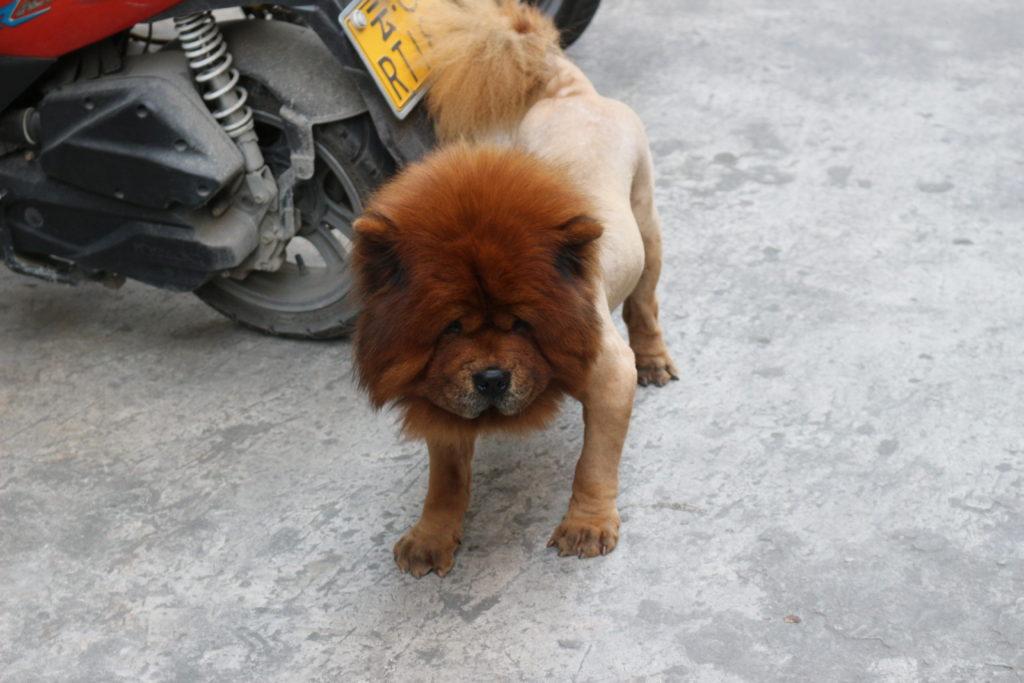 顔以外の毛を全て刈り取られてしまった犬
