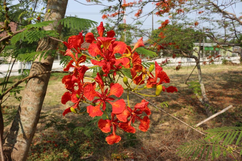 常夏の国に咲く赤い花