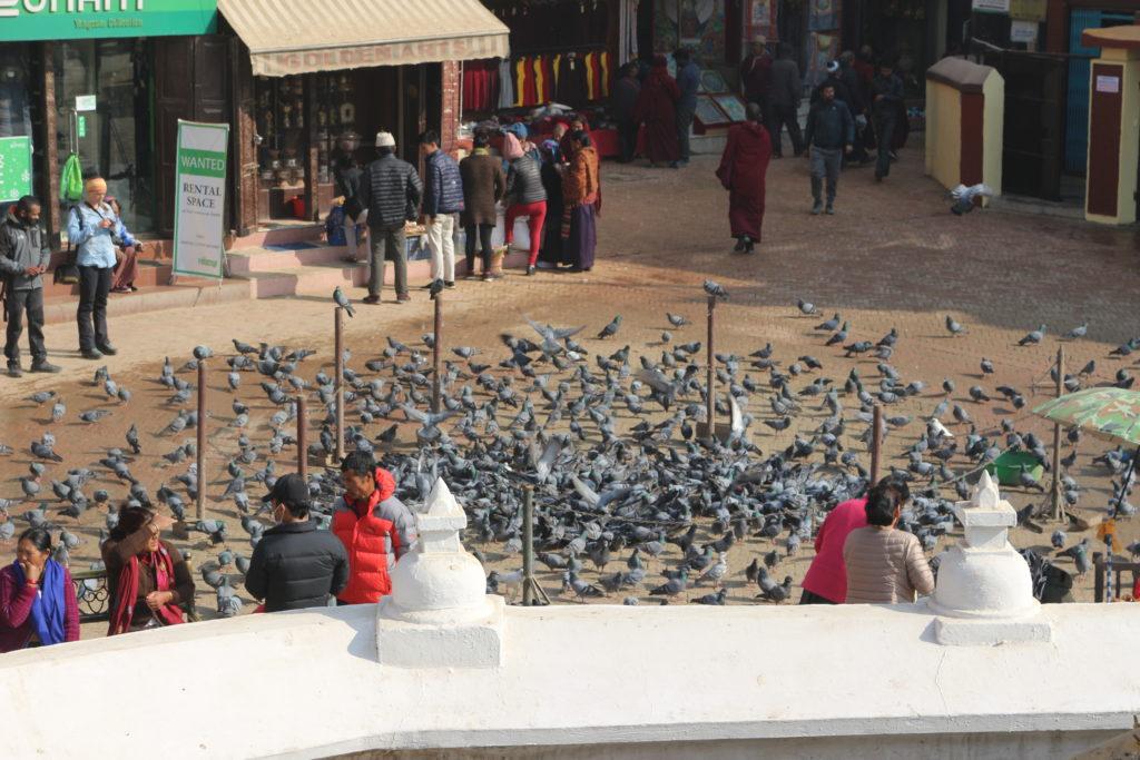 餌に群がる鳩
