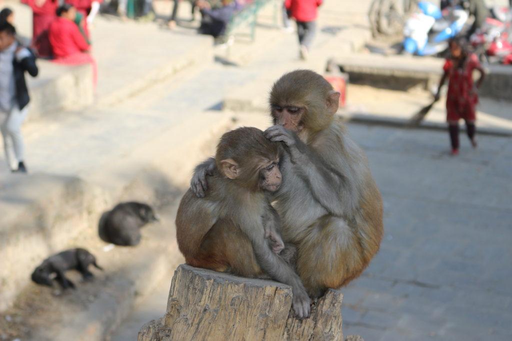 毛づくろいをする野生の猿
