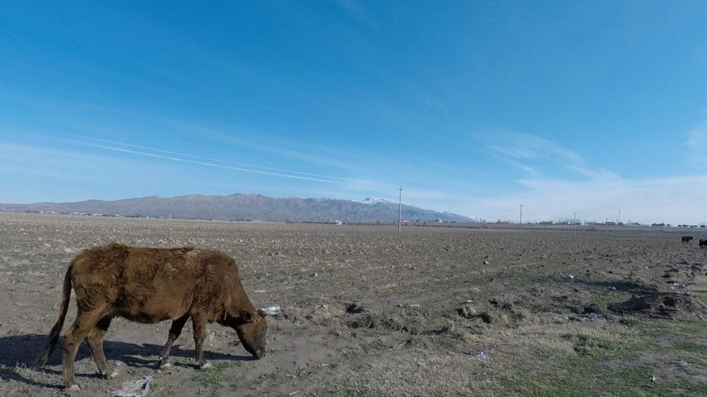 国境周辺で放し飼いにされている牛